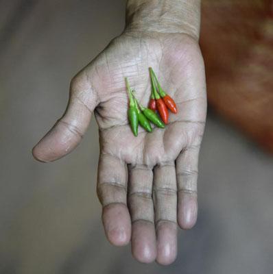 kleine Chilis die es in sich haben