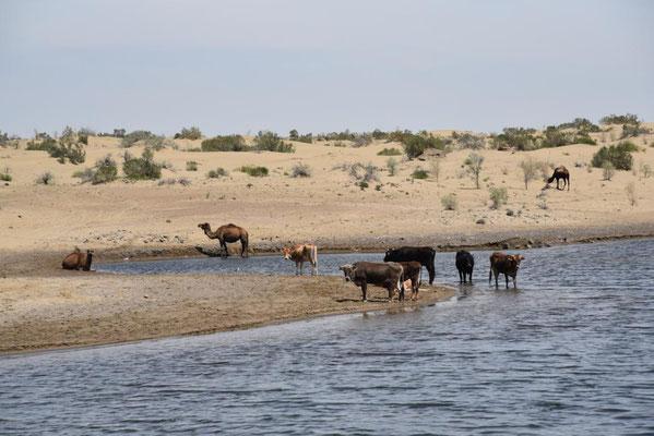 Kamele und Kühe zusammen in der Wüste