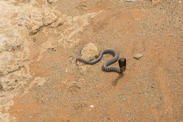 Zebra cobra - not very harmless