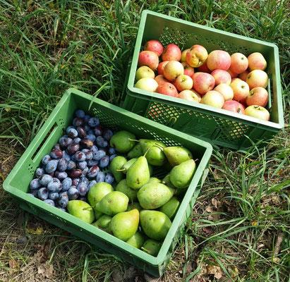 Neben dem Obst aus unseren Streuobst wiesen, bieten wir unseren Kunden auch köstliche Erdbeeren