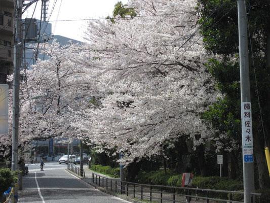 桜 いいですよね^^