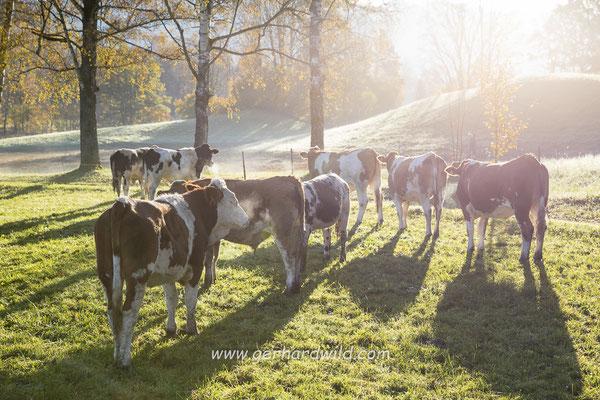 Kuhherde im Morgenlicht