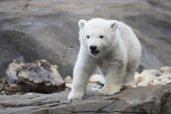 Eisbärenjunges Finja - Tiergarten Schönbrunn