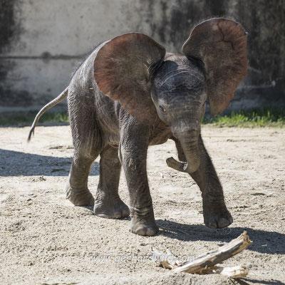 Elefantenbaby Kibali - Tiergarten Schönbrunn