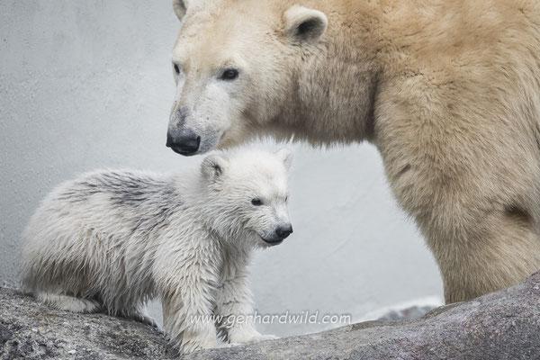 Eisbärenjunges Finja mit Mutter Nora - Tiergarten Schönbrunn