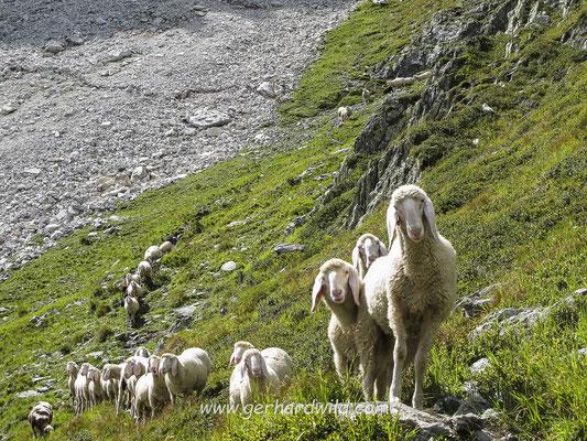 Schafherde in Osttirol