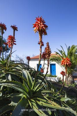 blühende Aloe Vera bei Las Tricias