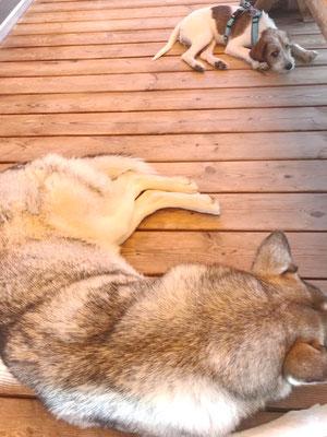 keine Angst vor grossen Hunden - Aiva mit Husky
