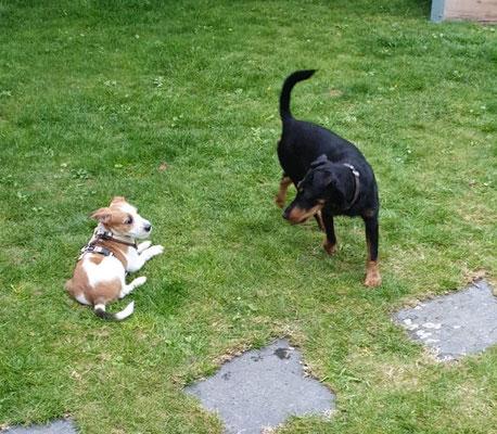 Ira hat aktuell auch grad Nachwuchs, Amy darf die Zwerge gerne besuchen. Sie sind noch wenig kleiner als sie selber.