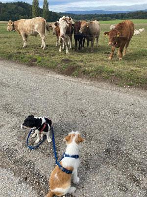 grosse Kühe machen ihm schon längst keine Angst mehr...