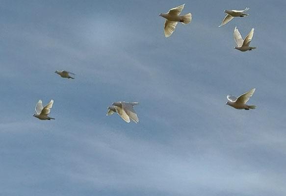 Weiße Tauben im Flug
