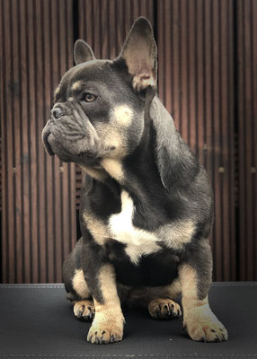 Thrud (Bijou Incredible Bulls) geb. 21.04.2019 *Inzucht 3. Generation* (Brachycephal-Syndrom Operation 2019)Champion: Baby) (Körper: 12kg - 33cm)