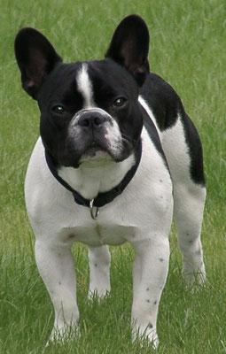 Modi (unser Big Boss *Seelenhund*) geb. 03.11.2003 (Erste Französiche Bulldogge bei uns im Zuhause) (4-facher Vater *2009) (Körper: 17,5kg - 40cm)