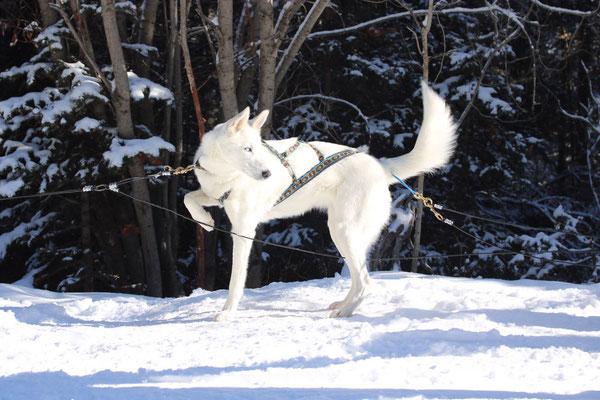 Huskys sind wunderschöne, kraftvolle Hunde