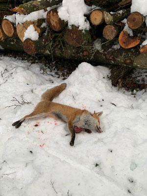 Nach rund 1.5h wird es Reinecke zu bunt und er versucht den Hackholzhaufen zu verlassen, was für den laufkranken Fuchs die Erlösung bedeutet.