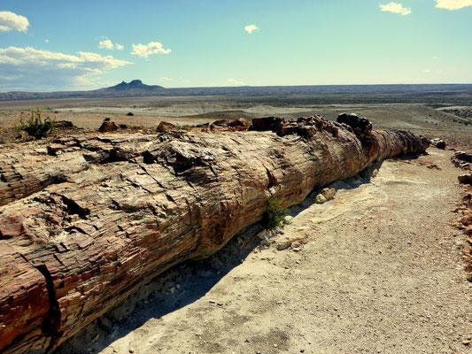ein riesiger versteinerter Baumstamm