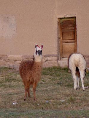 Alpacas im Altiplano