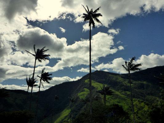 Die Wachspalme, Kolumbiens Nationalbaum...