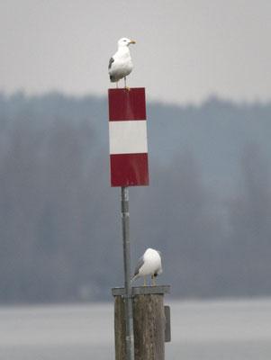Mittelmeermöwen, Foto: Helmut Rebstock