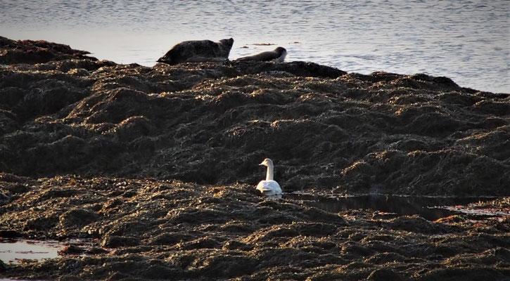 zeehonden in IJsland
