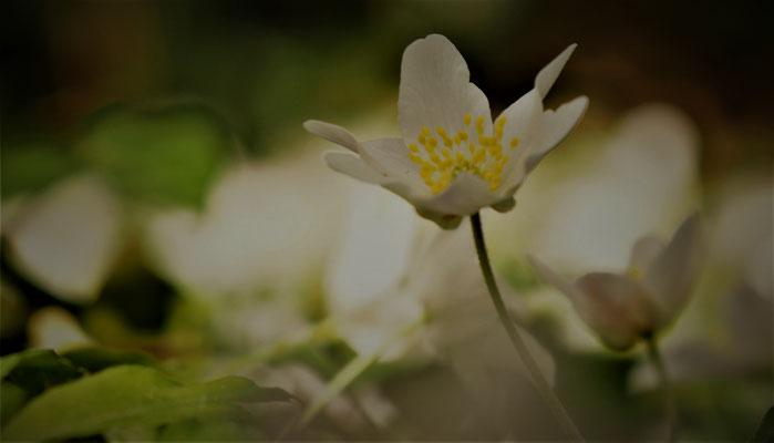 witte bosannemoon