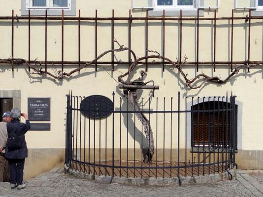 450 Jahre alte Weinrebe