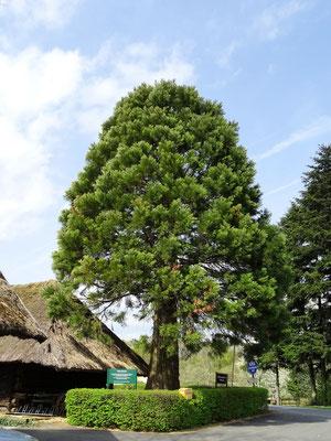 der Mammutbaum beim Kreuzstadl