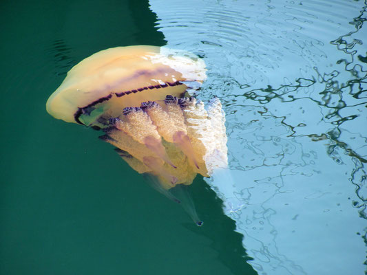 eine Lungenqualle im Hafenwasser in Muggia - sie war etwa 1 m groß
