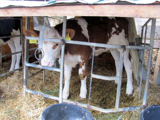 Milchlieferantin