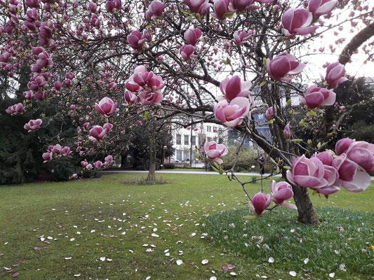 Tulpenmagnolie im Kurpark Bad Reichenhall
