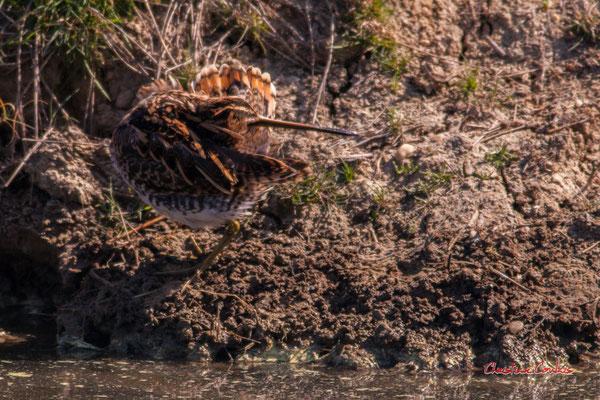 Nettoyage du plumage d'une barge à queue noire, réserve ornithologique du Teich, 3 avril 2021. Photographie © Christian Coulais