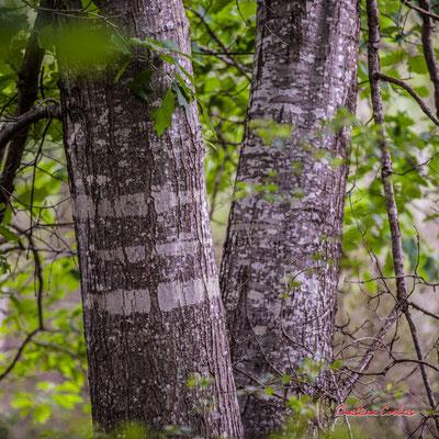 """""""Aux 3 bandes"""" Forêt de Migelan, espace naturel sensible, Martillac / Saucats / la Brède. Samedi 23 mai 2020. Photographie : Christian Coulais"""