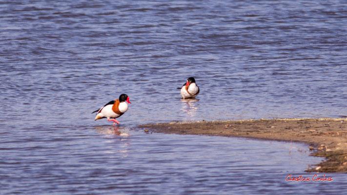 Tadornes de Belon. Réserve ornithologique du Teich. Samedi 3 avril 2021. Photographie © Christian Coulais