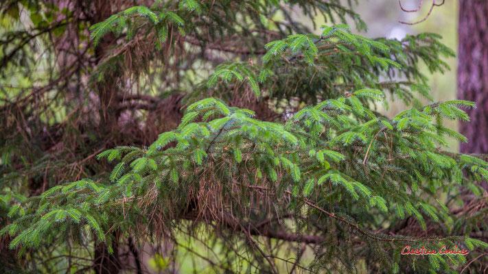 """2/2 """"Vertes pousses"""" Forêt de Migelan, espace naturel sensible, Martillac / Saucats / la Brède. Samedi 23 mai 2020. Photographie : Christian Coulais"""