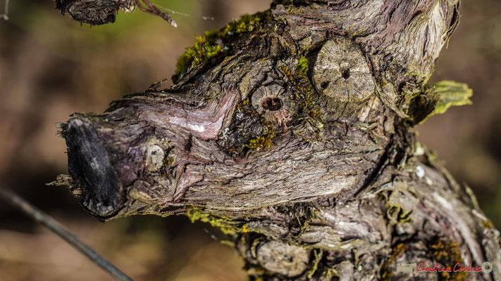 """""""Sus scrofa domesticus"""". Vitis vinifera Land Art"""