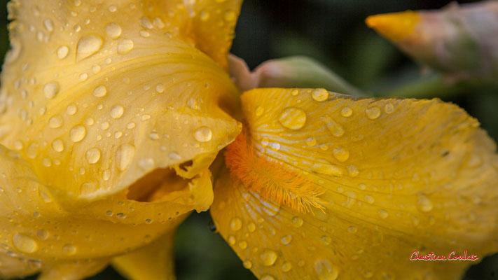 Rosée du matin sur pétales d'iris jaune, Cénac. Samedi 19 avril 2020. Photographie : Christian Coulais