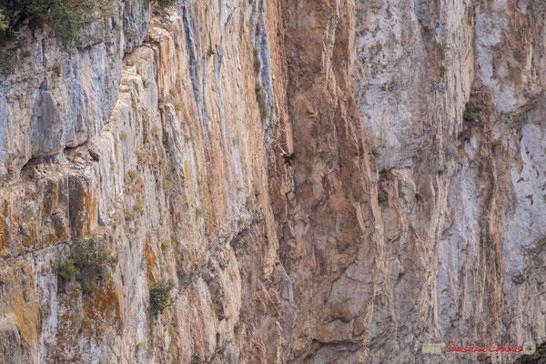 3/9 Vautour fauve en vol d'approche de son nid / Buitre beonado que se acerca al nido, Foz de Arbaiun, Navarra