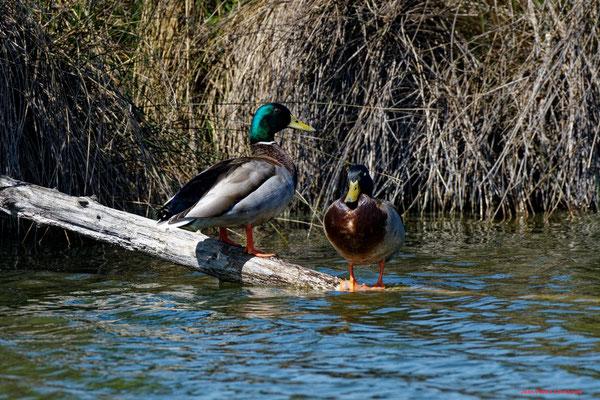 Canards colvert mâle et femelle. Réserve ornithologique du Teich. Photographie Jean-Pierre Couthouis. Samedi 3 avril 2021