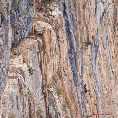 5/9 détail Vautour fauve en vol d'approche de son nid / Buitre beonado que se acerca al nido, Foz de Arbaiun, Navarra