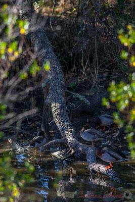 couples de canards colvert à L4ombre d'un troc d'arbRE; Domaine de Graveyron, Audenge, espace naturel sensible de Gironde