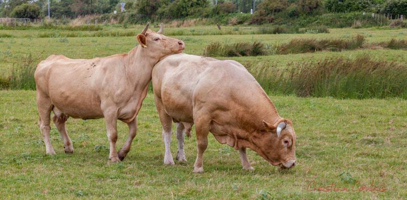 """""""Dis tu m'écoute qu'en je te parle ?"""" dit la vache au taureau. Pays de Saint-Gilles-Croix-de-Vie, Vendée, Pays de la Loire"""