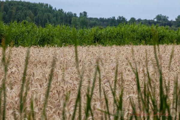 Champs de céréales, entre marais doux et marais salés, circuit N°27, Pays de Saint-Gilles-Croix-de-Vie, Vendée, Pays de la Loire