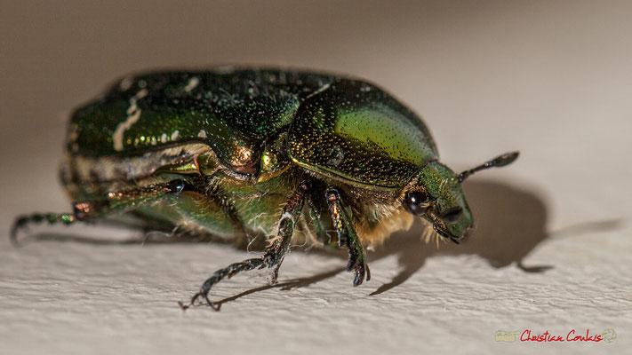 1/4 Cétoine dorée en mouvement, ou « Hanneton des roses » est un insecte coléoptère de la famille des Cetoniidae. Photographie Christian Coulais