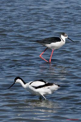 Avocette élégante, échasse blanche. Réserve ornithologique du Teich. Photographie Jean-Pierre Couthouis. Samedi 3 avril 2021