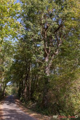 Vers Latresne, boisement à droite. Allée Lamothe, Cénac, Gironde. 16/10/1017