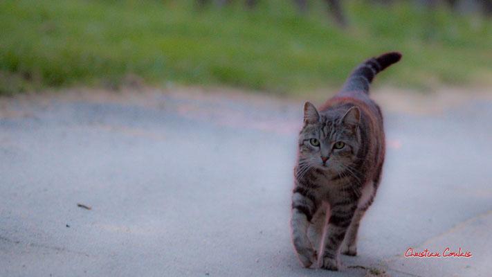 2/3 Chat domestique (Felis silvestris catus) Cénac. Mardi 7 avril 2020. Photographie : Christian Coulais