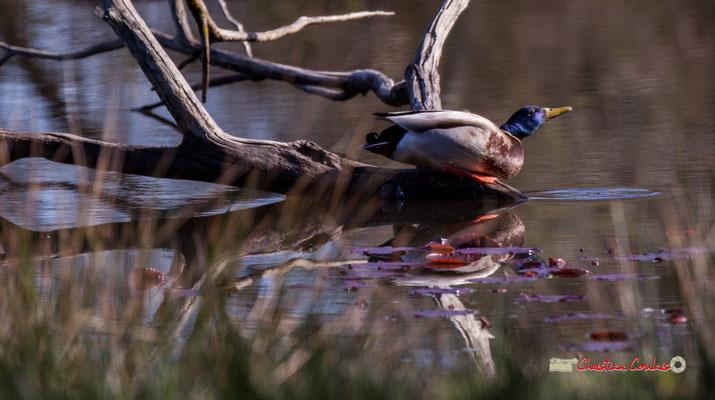 Canard colvert, réserve ornithologique du Teich. Samedi 16 mars 2019. Photographie © Christian Coulais