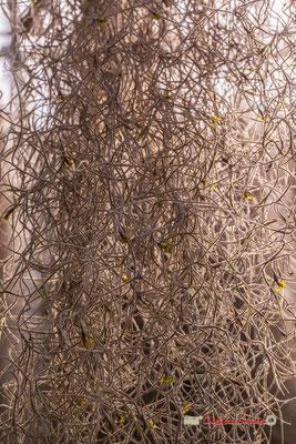 Fille de l'air Genre : Tillandsia; Espèce : Usneoides; Famille : Bromeliaceae; Ordre : Bromeliales. Serre tropicale du Bourgailh, Pessac. 27 mai 2019