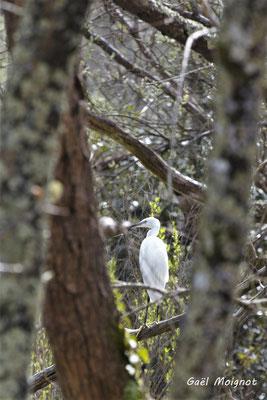 Aigrette garzette. Réserve ornithologique du Teich. Photographie Gaël Moignot. Samedi 16 mars 2019