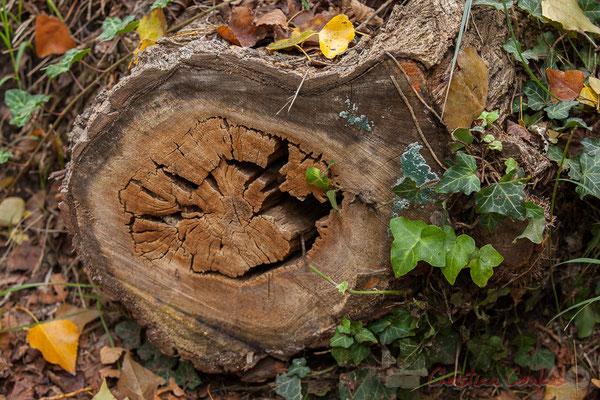 Tronc de chêne. Visite de la Réserve naturelle régionale de Scamandre, à Vauvert, en octobre 2016